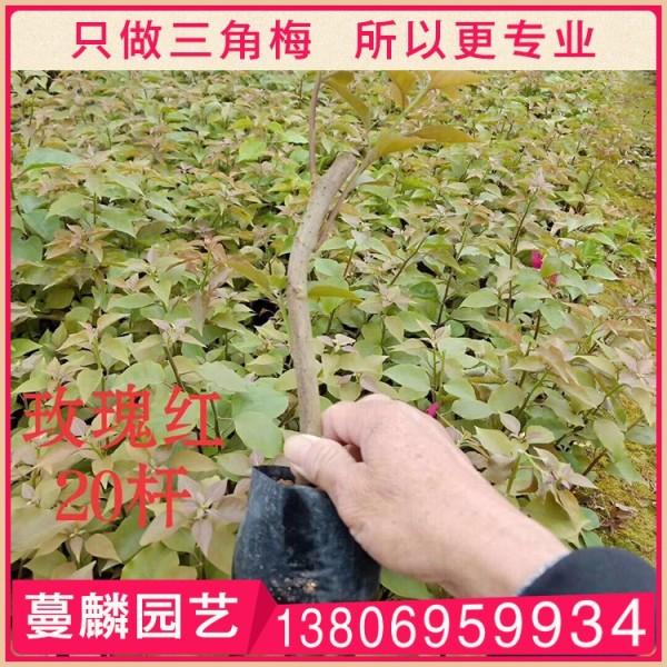 玫瑰红三角梅插秧苗
