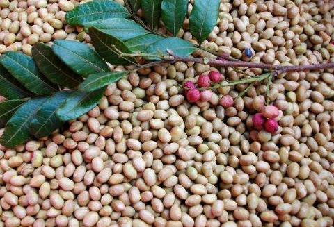 清香木種子批發