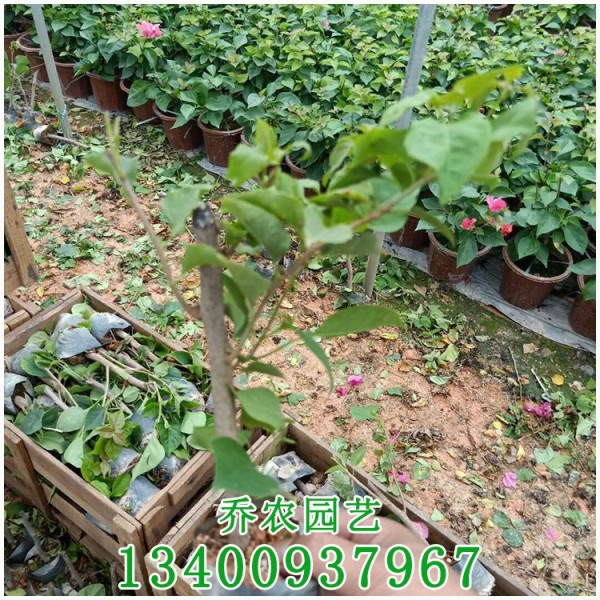 潮州红三角梅插秧苗