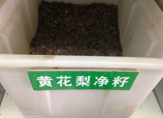 长期批发正宗海南黄花梨种子