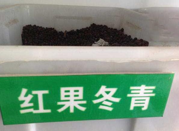紅果冬青種子批發