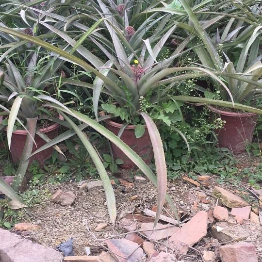 菠蘿樹  臺灣菠蘿 廣東菠蘿