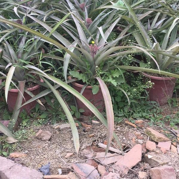 菠萝树  台湾菠萝 广东菠萝