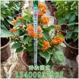 福建高40公分橙黄三角梅盆栽