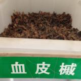 江苏血皮摵种子批发