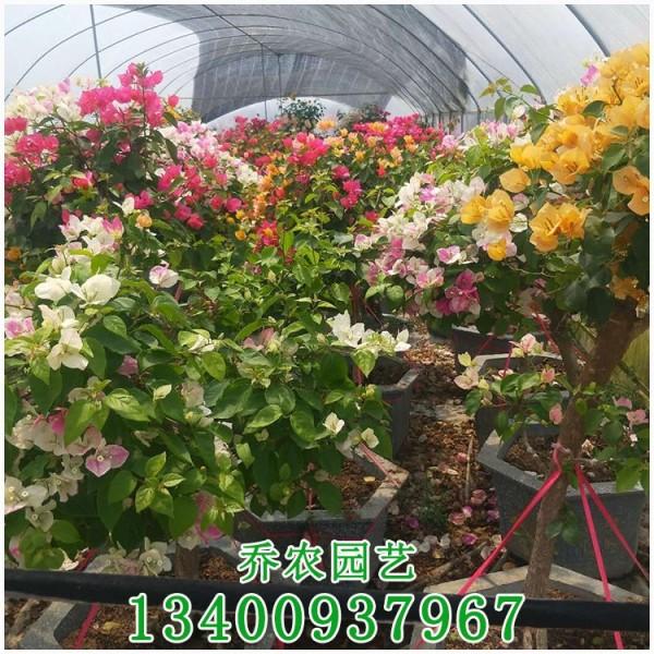 多花三角梅盆栽
