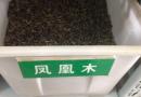 包衣狗牙根(百慕大)种子