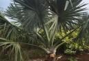 高25-30公分花叶鸭脚木批发