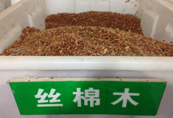 丝棉木种子直销