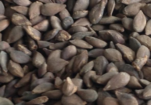 新疆野蘋果種子