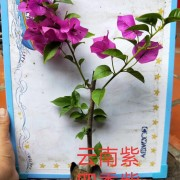 云南紫色三角梅苗 高度35 批发供应