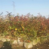 蓝莓苗木基地供应蓝莓苗