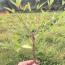 高度90公分红天竹