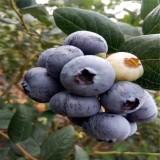 北陆中早熟抗寒蓝莓苗
