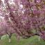 2公分江苏樱花树