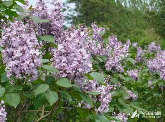 3公分紫丁香
