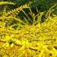 连翘苗黄花条黄金条树苗