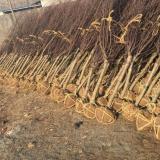 2公分榆叶梅