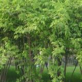江蘇金銀木