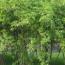 江苏金银木