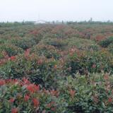 25公分红叶石楠