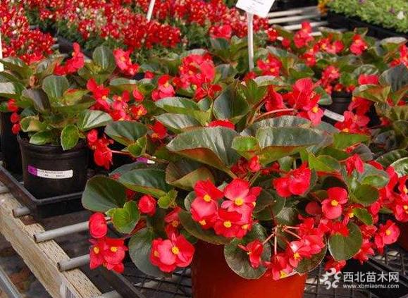 高度15公分大花海棠