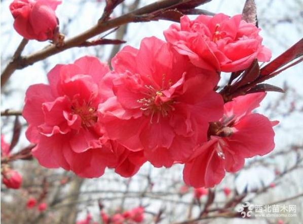 江苏红叶桃供应