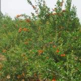 果石榴供应
