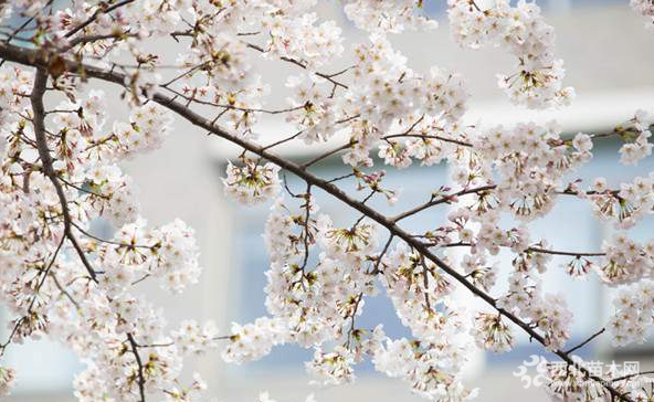 染井吉野樱花供应
