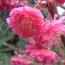 江苏山樱花