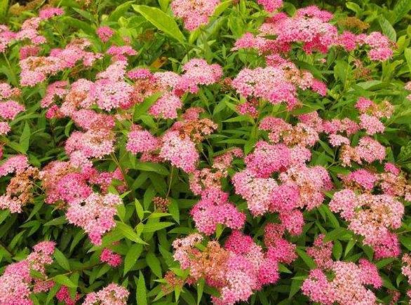 粉花绣线菊
