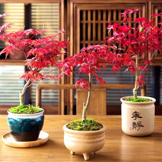 日本紅楓(紅舞姬)日本紅楓盆景