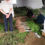 地径0.7公分紫穗槐