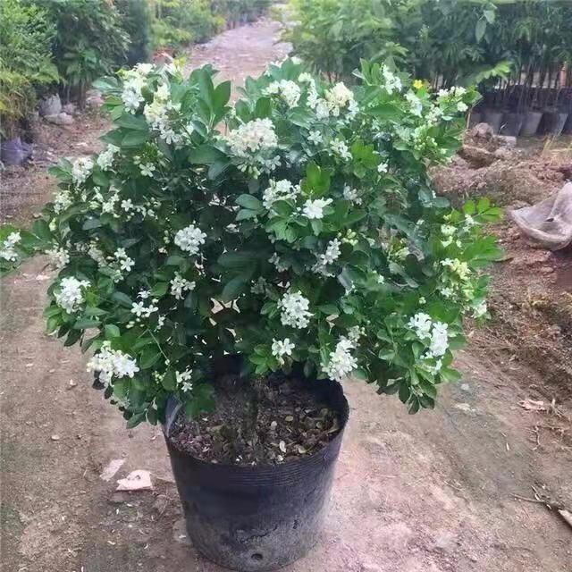 九里香盆栽