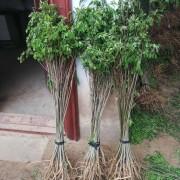 1米高紫穗槐