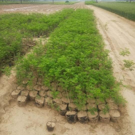 地徑0.5公分紫穗槐