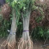 冠幅40公分紫穗槐