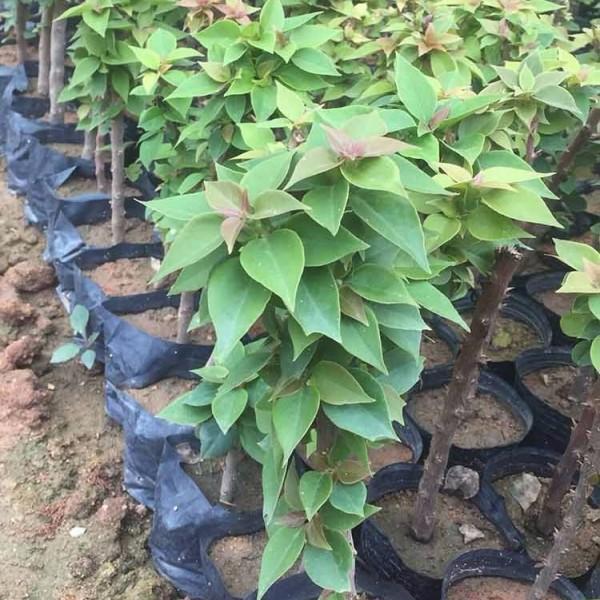 三角梅种苗