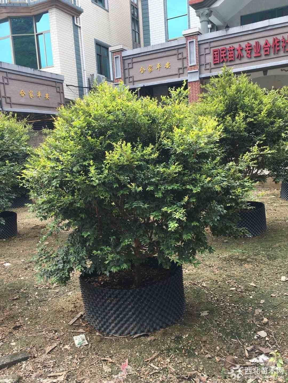 福建樹葡萄  嘉寶果  高度1米價格