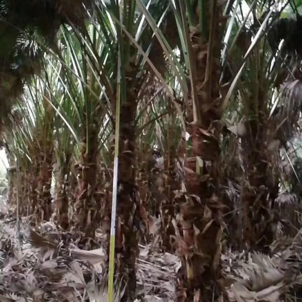 福建蒲葵       高度4.5米价格