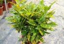 洒金变叶木盆苗