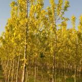 供10公分金叶复叶槭  郑州彩色苗木基地