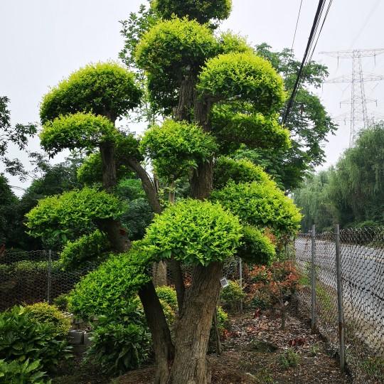金禾女貞(造型)