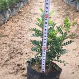 胡椒木高20-25公分