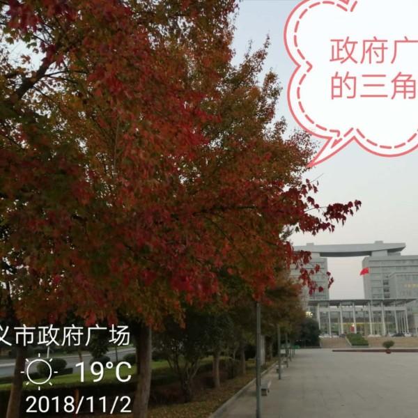 三角枫  河洛地区郑州三角枫基地