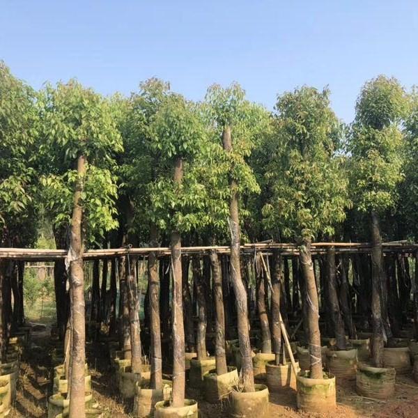 精品香樟袋苗 米径8公分 桂丽园艺批发供应