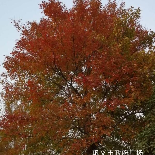 郑州巩义市裕林苗圃供3-8公分三角枫
