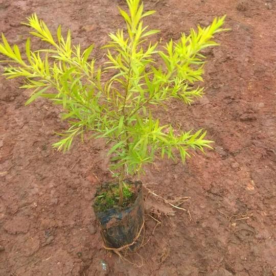 黃金香柳  黃金寶樹  小苗供應