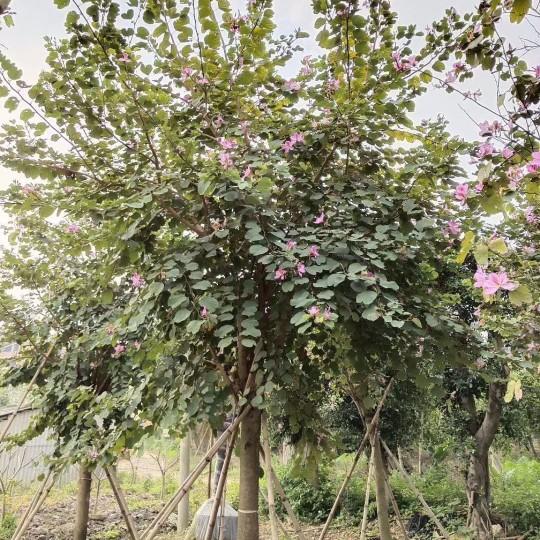 6米高宮粉紫荊