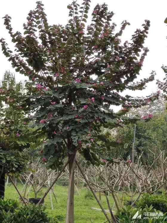 6米高宫粉紫荆
